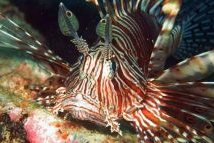 Pacific Lionfish
